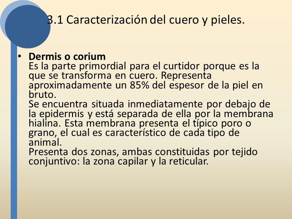 3.1 Caracterización del cuero y pieles. Dermis o corium Es la parte primordial para el curtidor porque es la que se transforma en cuero. Representa ap