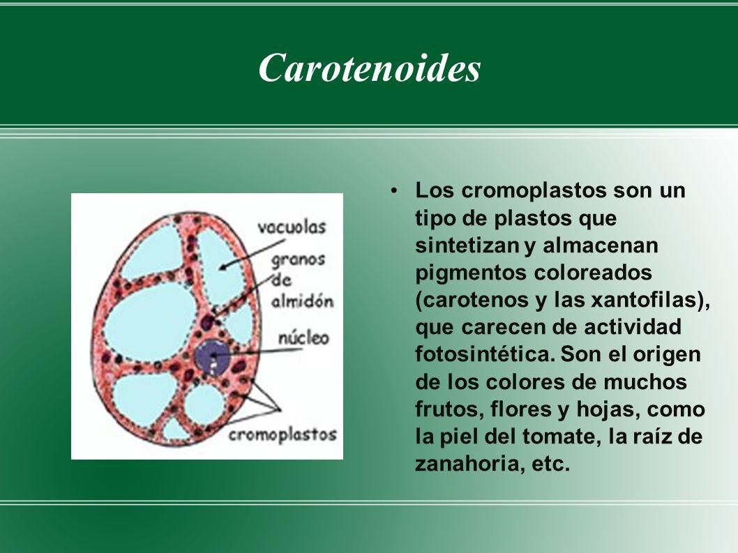 Carotenoides Los cromoplastos son un tipo de plastos que sintetizan y almacenan pigmentos coloreados (carotenos y las xantofilas), que carecen de actividad fotosintética.
