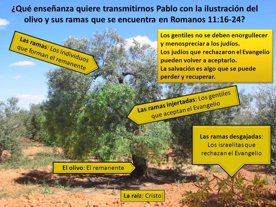 ¿Qué enseñanza quiere transmitirnos Pablo con la ilustración del olivo y sus ramas que se encuentra en Romanos 11:16-24? Los gentiles no se deben enor