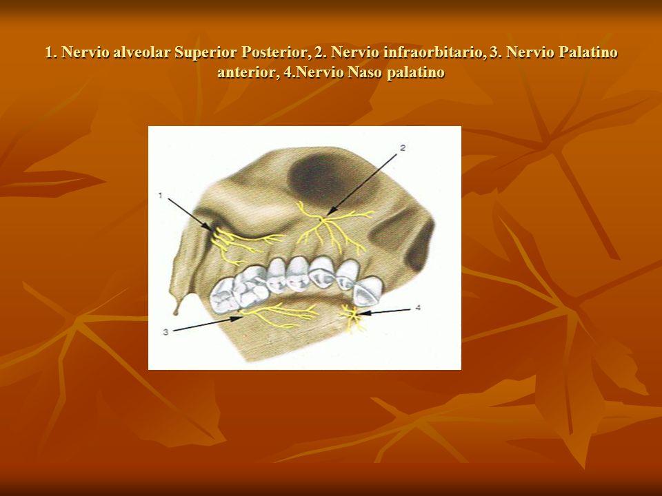 1. Nervio alveolar Superior Posterior, 2. Nervio infraorbitario, 3. Nervio Palatino anterior, 4.Nervio Naso palatino