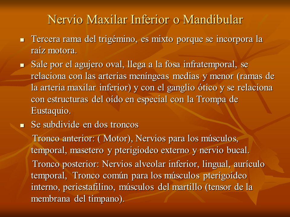 Nervio Maxilar Inferior o Mandibular Tercera rama del trigémino, es mixto porque se incorpora la raíz motora. Tercera rama del trigémino, es mixto por