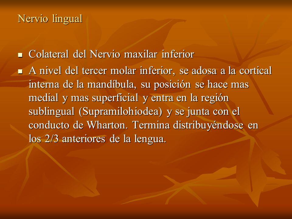 Nervio lingual Colateral del Nervio maxilar inferior Colateral del Nervio maxilar inferior A nivel del tercer molar inferior, se adosa a la cortical i