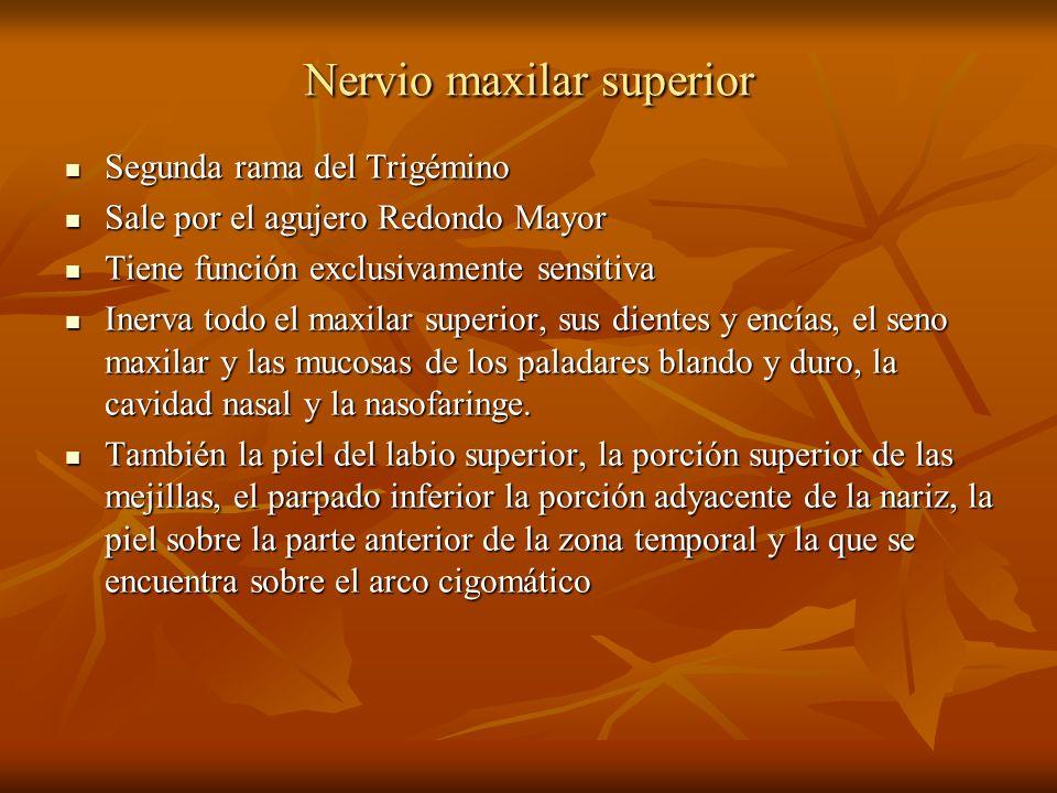Nervio maxilar superior Segunda rama del Trigémino Segunda rama del Trigémino Sale por el agujero Redondo Mayor Sale por el agujero Redondo Mayor Tien