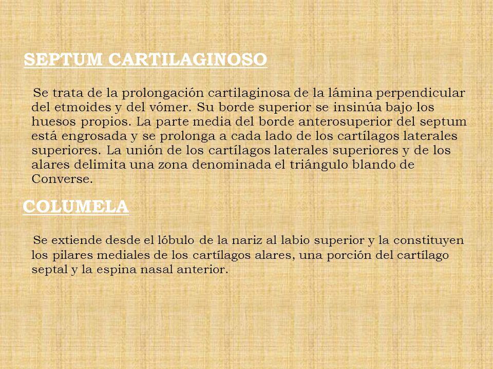 SEPTUM CARTILAGINOSO Se trata de la prolongación cartilaginosa de la lámina perpendicular del etmoides y del vómer. Su borde superior se insinúa bajo