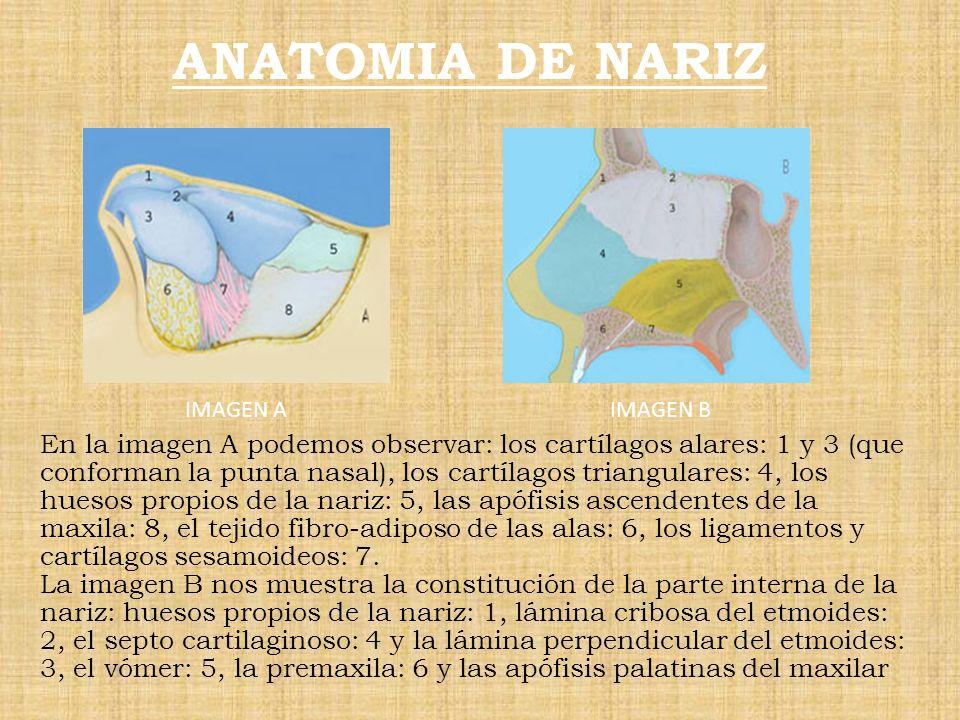 ANATOMIA DE NARIZ En la imagen A podemos observar: los cartílagos alares: 1 y 3 (que conforman la punta nasal), los cartílagos triangulares: 4, los hu