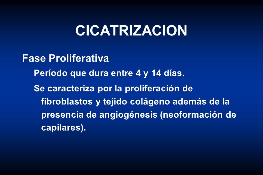 CICATRIZACION Fase Proliferativa Período que dura entre 4 y 14 días. Se caracteriza por la proliferación de fibroblastos y tejido colágeno además de l