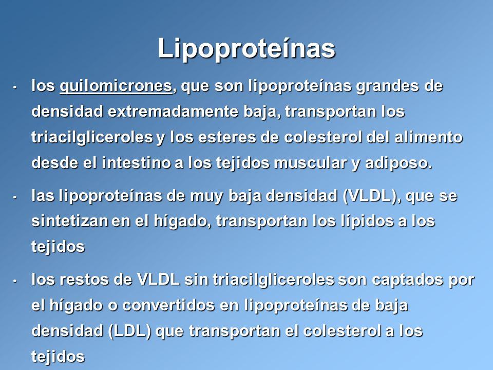 los quilomicrones, que son lipoproteínas grandes de densidad extremadamente baja, transportan los triacilgliceroles y los esteres de colesterol del al