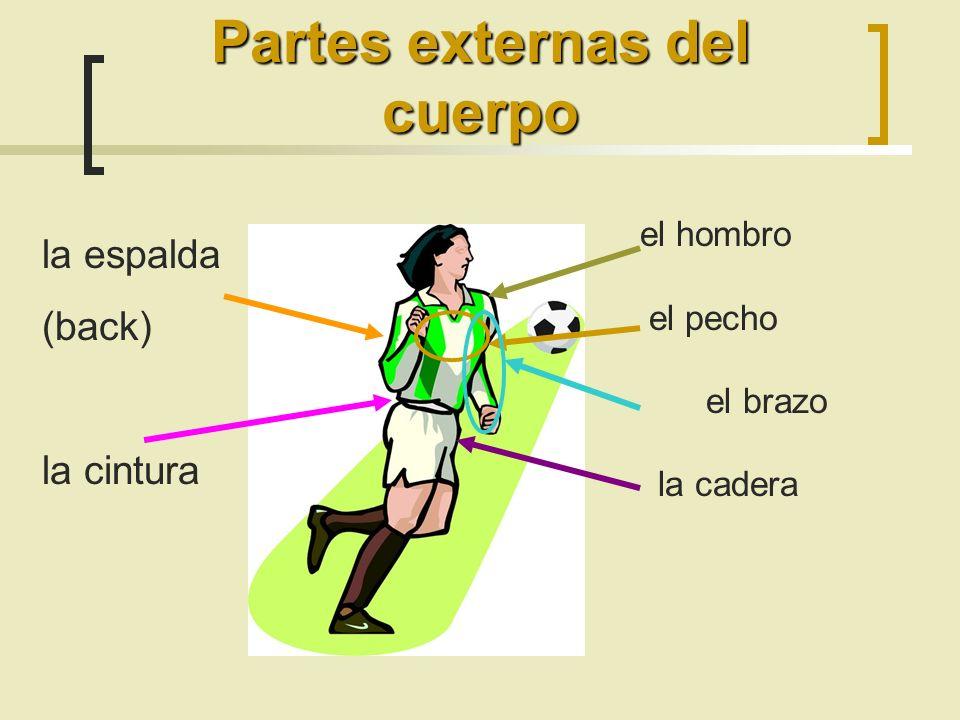 el hombro el pecho el brazo la cadera Partes externas del cuerpo la espalda (back) la cintura