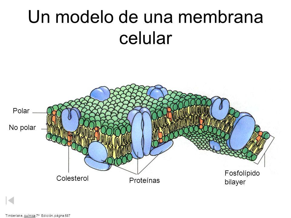 Un modelo de una membrana celular Timberlake, química 7 th Edición, página 587 Polar No polar Colesterol Proteínas Fosfolípido bilayer