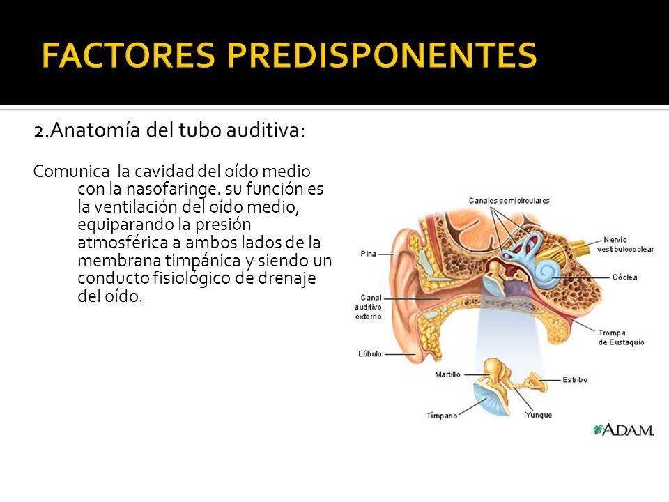 2.Anatomía del tubo auditiva: Comunica la cavidad del oído medio con la nasofaringe. su función es la ventilación del oído medio, equiparando la presi
