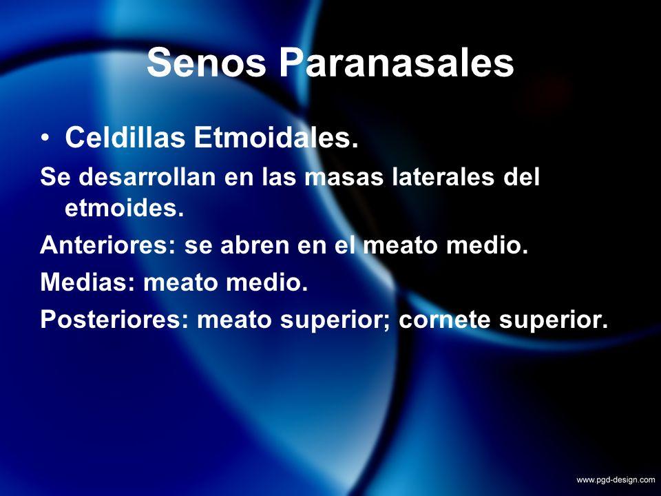 Senos Paranasales Celdillas Etmoidales. Se desarrollan en las masas laterales del etmoides. Anteriores: se abren en el meato medio. Medias: meato medi