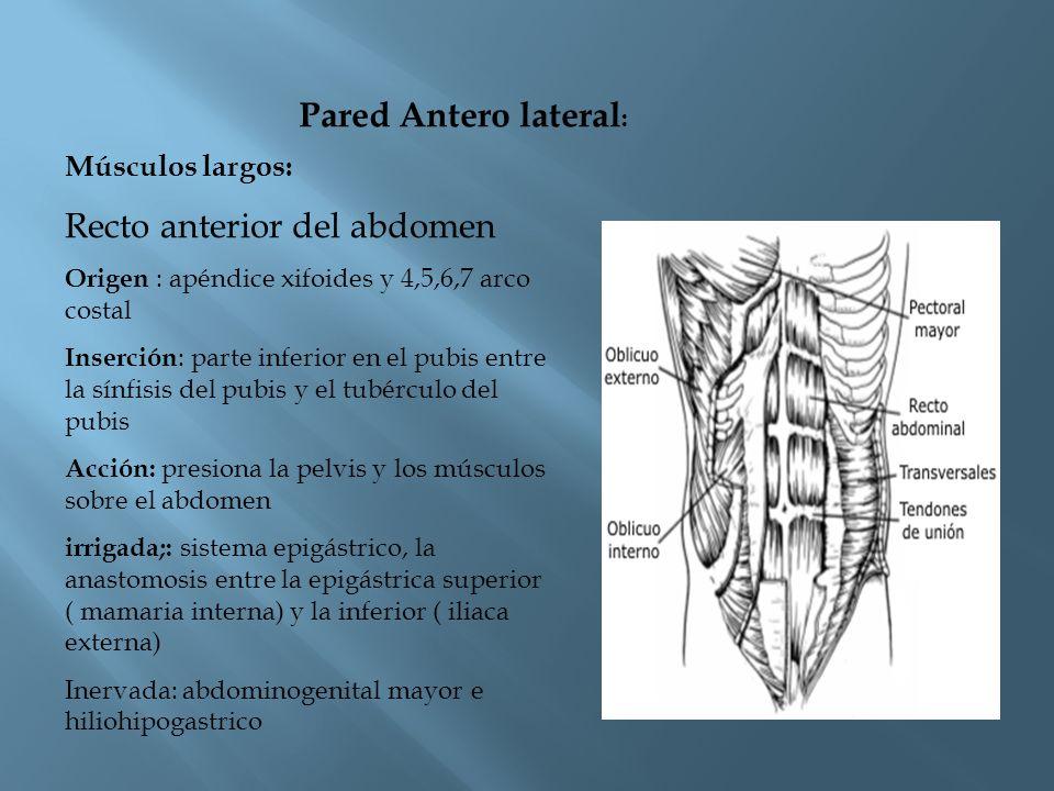 Piramidal del abdomen: Se extiende desde el punto medio de la cicatriz umbilical y la sínfisis del pubis Función: tensar la línea alba Irrigado: arteria epigástrica inferior Inervado: abdominogenital mayor