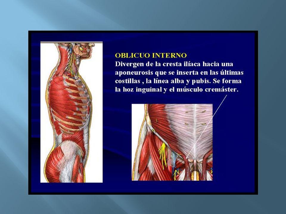 Insercion : - Cresta iliaca - Ligamento inguinal -Espina iliaca antero superior -Labio interno de la cesta iliaca Innervación: Están dados por los 6 últimos intercostales y L1