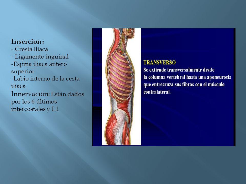 Insercion : - Cresta iliaca - Ligamento inguinal -Espina iliaca antero superior -Labio interno de la cesta iliaca Innervación: Están dados por los 6 ú