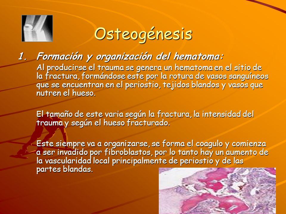 Osteogénesis Etapa de proliferación celular:Etapa de proliferación celular: Ya originado el coagulo, las células formadoras de hueso (periostio) comienzan a formar dehiscencia, y comienza una gran actividad de proliferación y secreción celular.