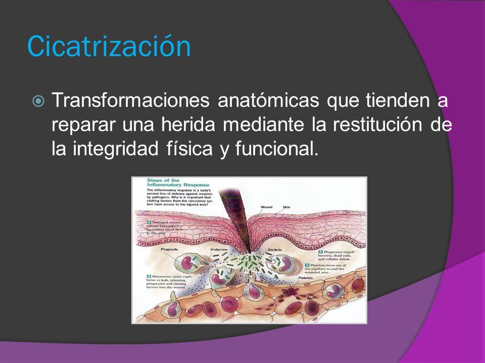 Cicatrización Transformaciones anatómicas que tienden a reparar una herida mediante la restitución de la integridad física y funcional.