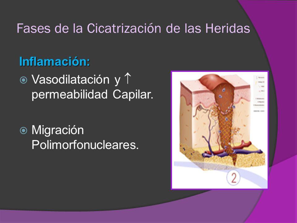 Fases de la Cicatrización de las Heridas Inflamación: Vasodilatación y permeabilidad Capilar. Migración Polimorfonucleares.