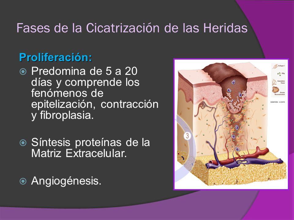 Fases de la Cicatrización de las Heridas Proliferación: Predomina de 5 a 20 días y comprende los fenómenos de epitelización, contracción y fibroplasia