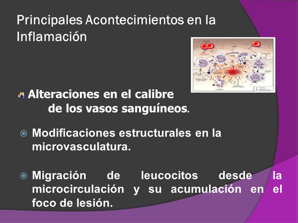 Principales Acontecimientos en la Inflamación Modificaciones estructurales en la microvasculatura. Migración de leucocitos desde la microcirculación y