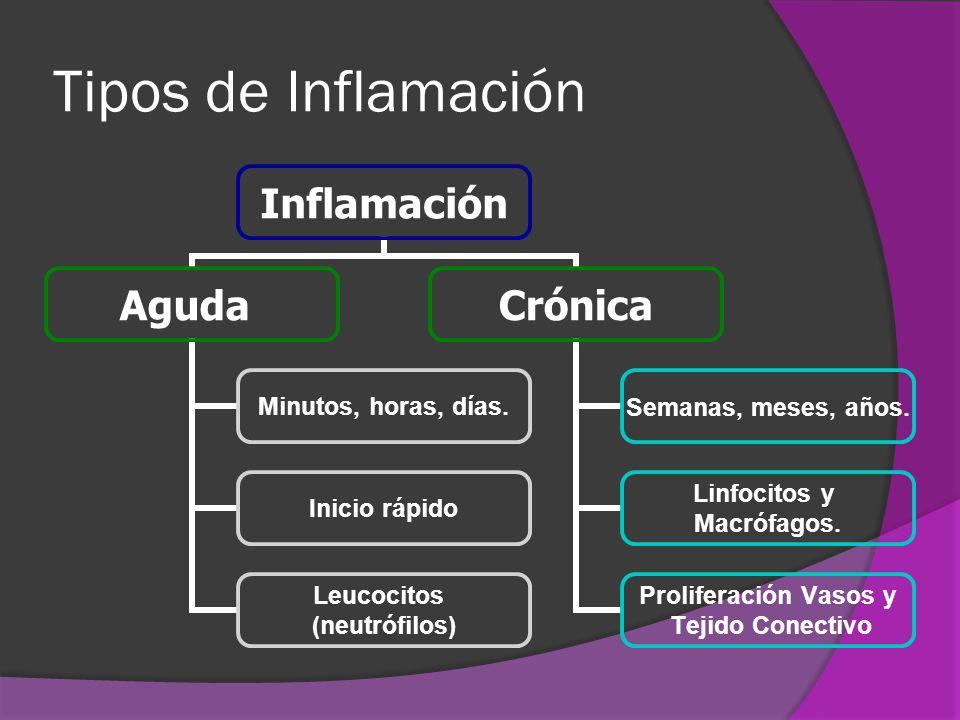 Tipos de Inflamación Inflamación Aguda Minutos, horas, días. Inicio rápido Leucocitos (neutrófilos) Crónica Semanas, meses, años. Linfocitos y Macrófa