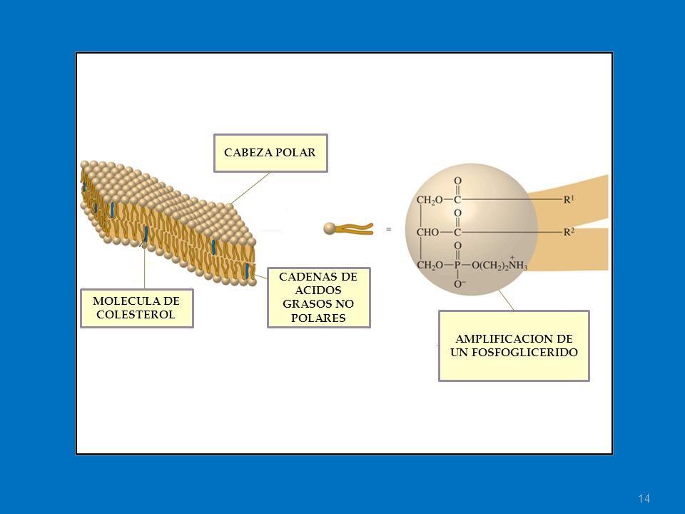 14 MOLECULA DE COLESTEROL CADENAS DE ACIDOS GRASOS NO POLARES CABEZA POLAR AMPLIFICACION DE UN FOSFOGLICERIDO