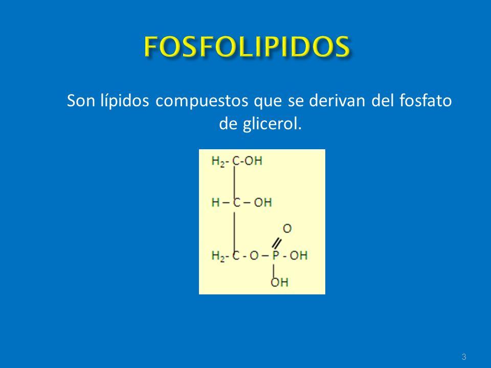 Son lípidos compuestos que se derivan del fosfato de glicerol. 3