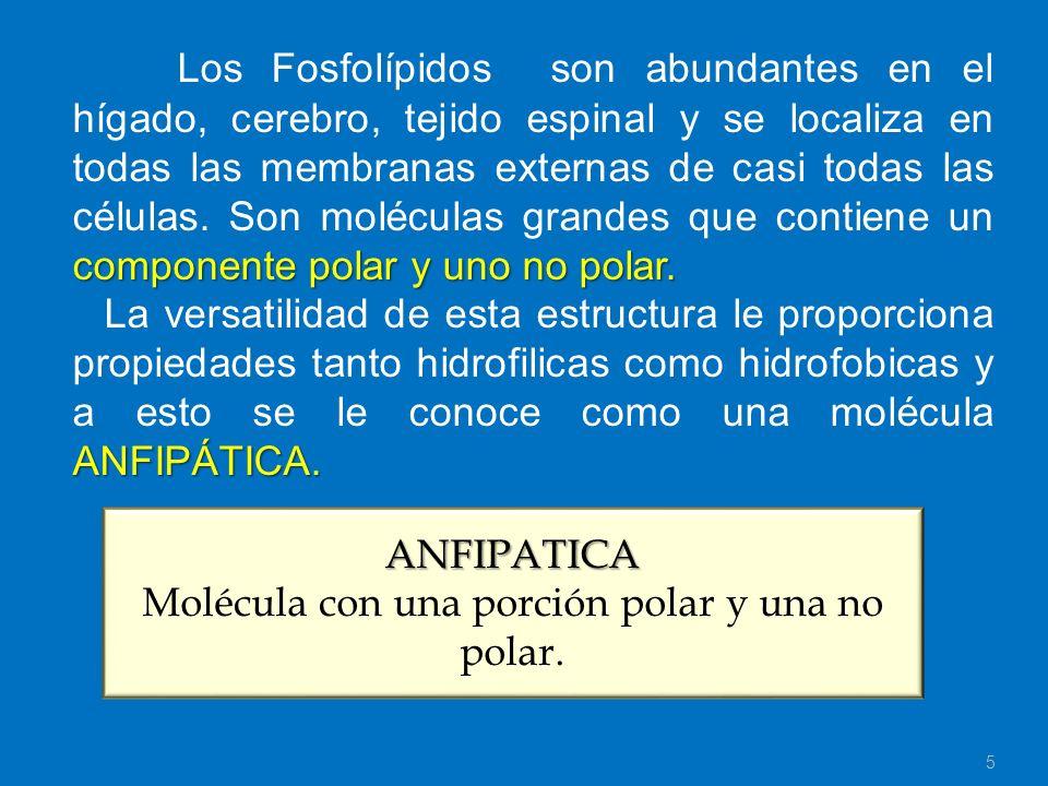 componente polar y uno no polar. Los Fosfolípidos son abundantes en el hígado, cerebro, tejido espinal y se localiza en todas las membranas externas d