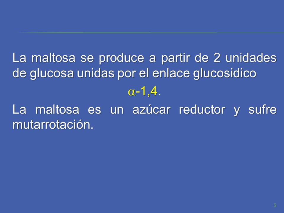 La maltosa se produce a partir de 2 unidades de glucosa unidas por el enlace glucosidico -1,4 -1,4. La maltosa es un azúcar reductor y sufre mutarrota