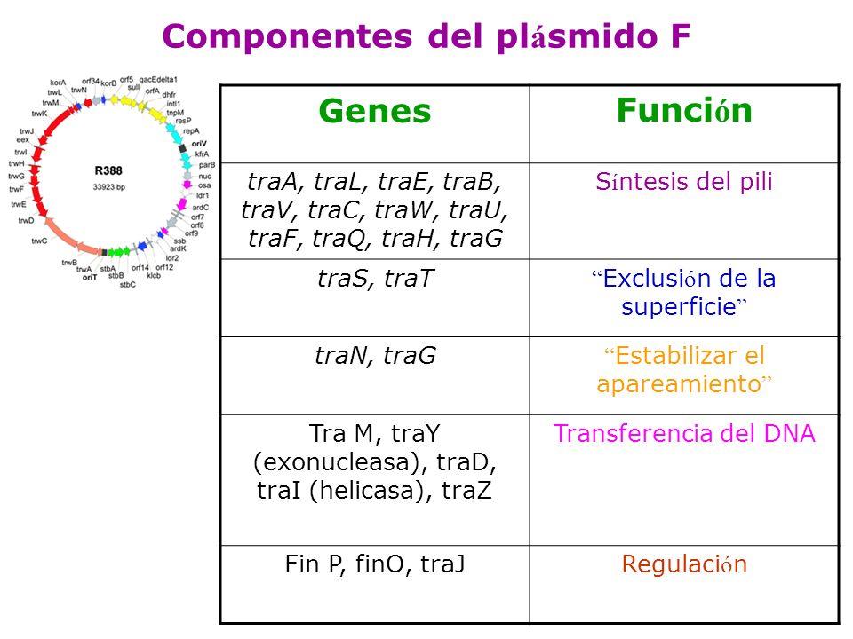 Componentes del pl á smido F GenesFunci ó n traA, traL, traE, traB, traV, traC, traW, traU, traF, traQ, traH, traG S í ntesis del pili traS, traT Excl