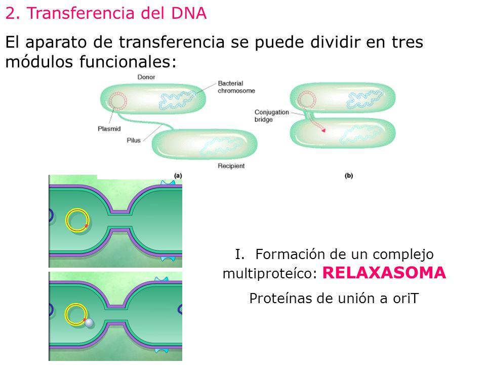 I. Formación de un complejo multiproteíco: RELAXASOMA Proteínas de unión a oriT 2. Transferencia del DNA El aparato de transferencia se puede dividir