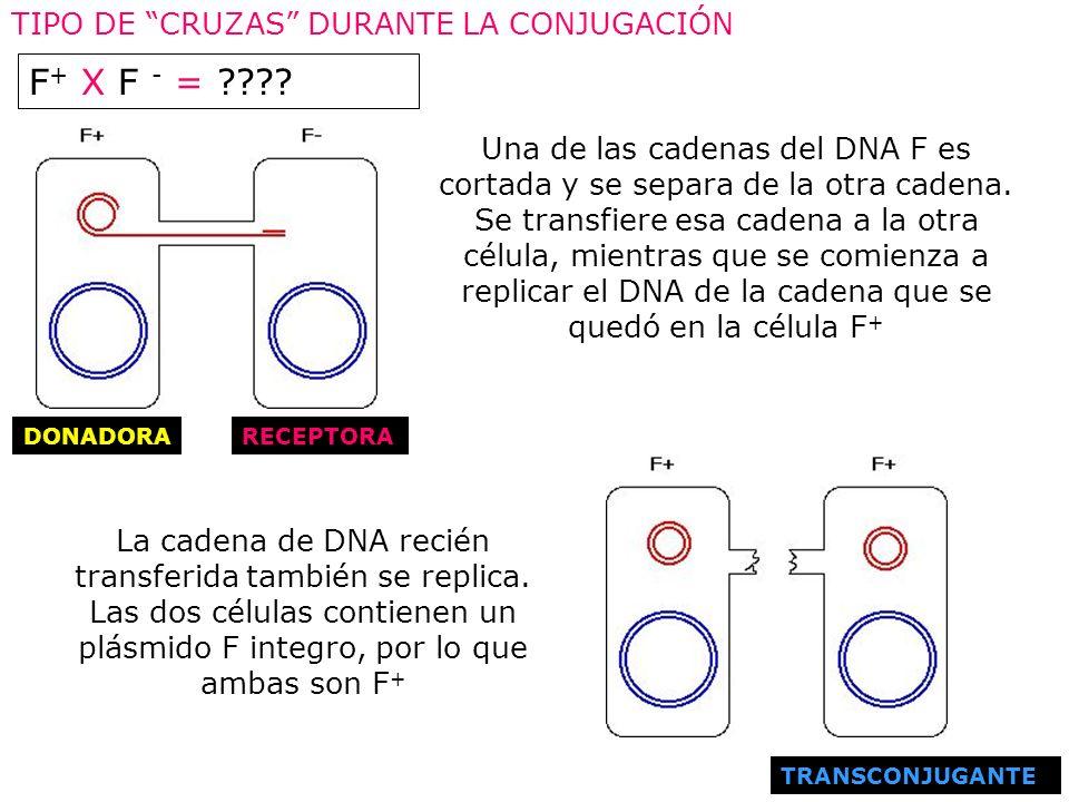 Una de las cadenas del DNA F es cortada y se separa de la otra cadena. Se transfiere esa cadena a la otra célula, mientras que se comienza a replicar