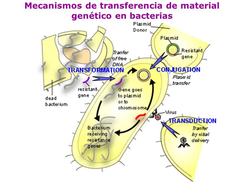 Conjugación es el proceso de apareamiento de bacterias mediante el cual se transfiere información genética.