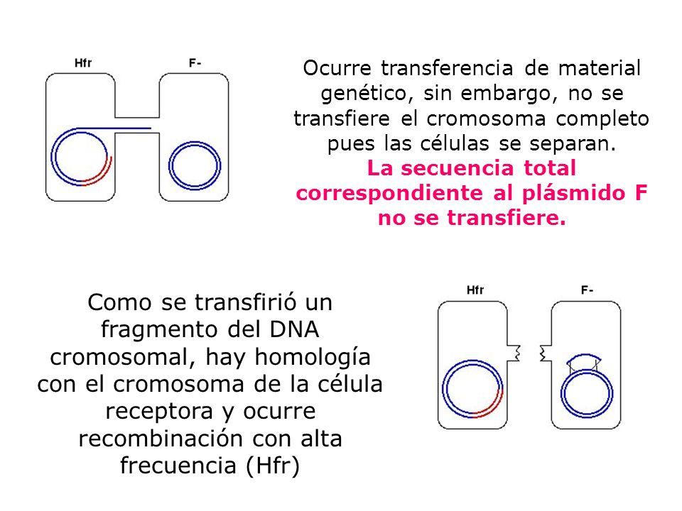 Ocurre transferencia de material genético, sin embargo, no se transfiere el cromosoma completo pues las células se separan. La secuencia total corresp