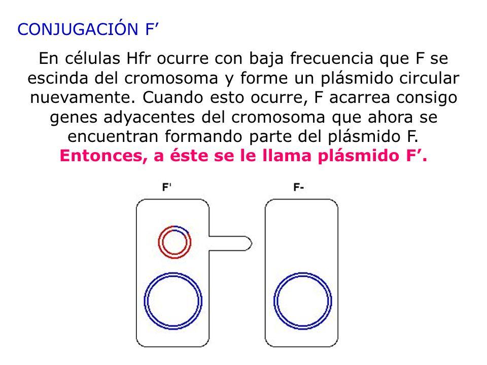 CONJUGACIÓN F En células Hfr ocurre con baja frecuencia que F se escinda del cromosoma y forme un plásmido circular nuevamente. Cuando esto ocurre, F
