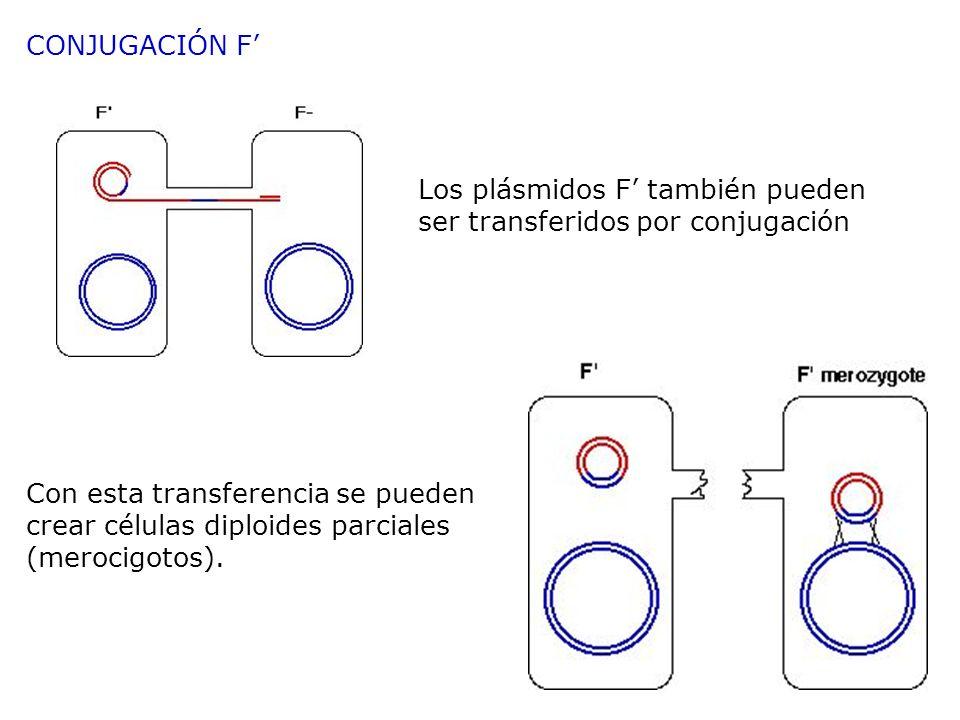 Con esta transferencia se pueden crear células diploides parciales (merocigotos). Los plásmidos F también pueden ser transferidos por conjugación CONJ