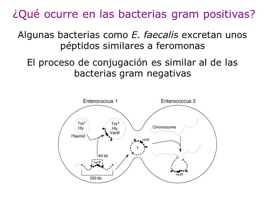 ¿Qué ocurre en las bacterias gram positivas? Algunas bacterias como E. faecalis excretan unos péptidos similares a feromonas El proceso de conjugación