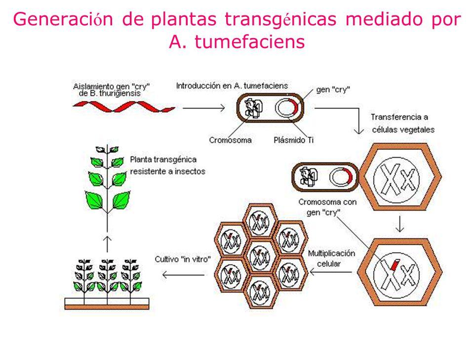 Generaci ó n de plantas transg é nicas mediado por A. tumefaciens