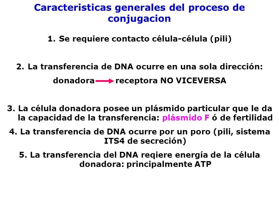 Una de las cadenas del DNA F es cortada y se separa de la otra cadena.