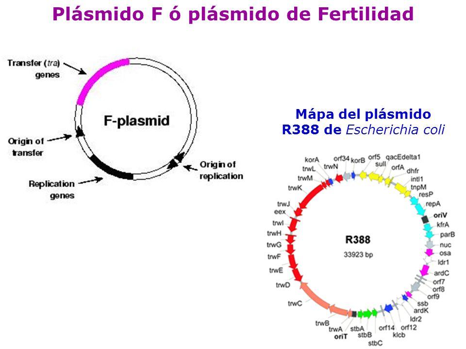 Componentes del pl á smido F GenesFunci ó n traA, traL, traE, traB, traV, traC, traW, traU, traF, traQ, traH, traG S í ntesis del pili traS, traT Exclusi ó n de la superficie traN, traG Estabilizar el apareamiento Tra M, traY (exonucleasa), traD, traI (helicasa), traZ Transferencia del DNA Fin P, finO, traJRegulaci ó n