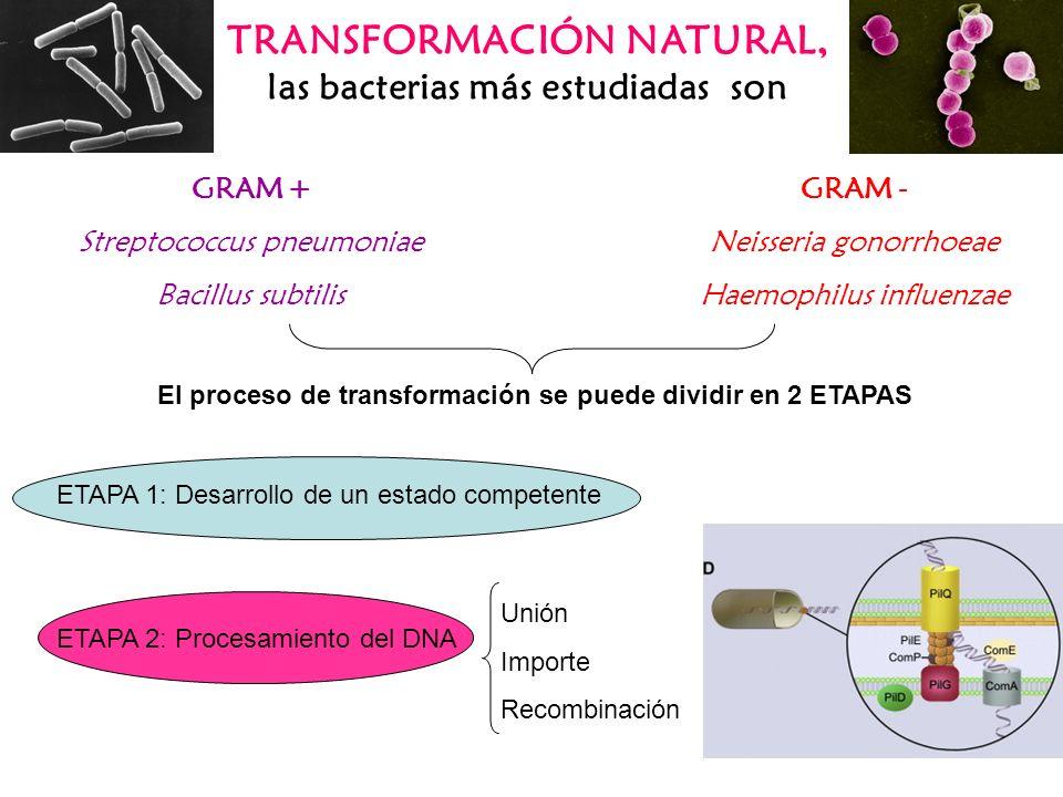 TRANSFORMACIÓN NATURAL, las bacterias más estudiadas son ETAPA 1: Desarrollo de un estado competente ETAPA 2: Procesamiento del DNA Unión Importe Reco