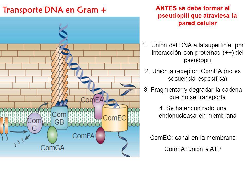 Transporte DNA en Gram + ANTES se debe formar el pseudopili que atraviesa la pared celular 1.Unión del DNA a la superficie por interacción con proteín