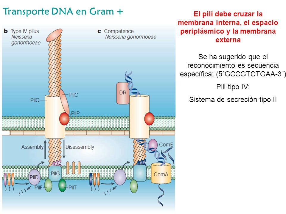 Transporte DNA en Gram + Se ha sugerido que el reconocimiento es secuencia específica: (5´GCCGTCTGAA-3´) Pili tipo IV: Sistema de secreción tipo II El
