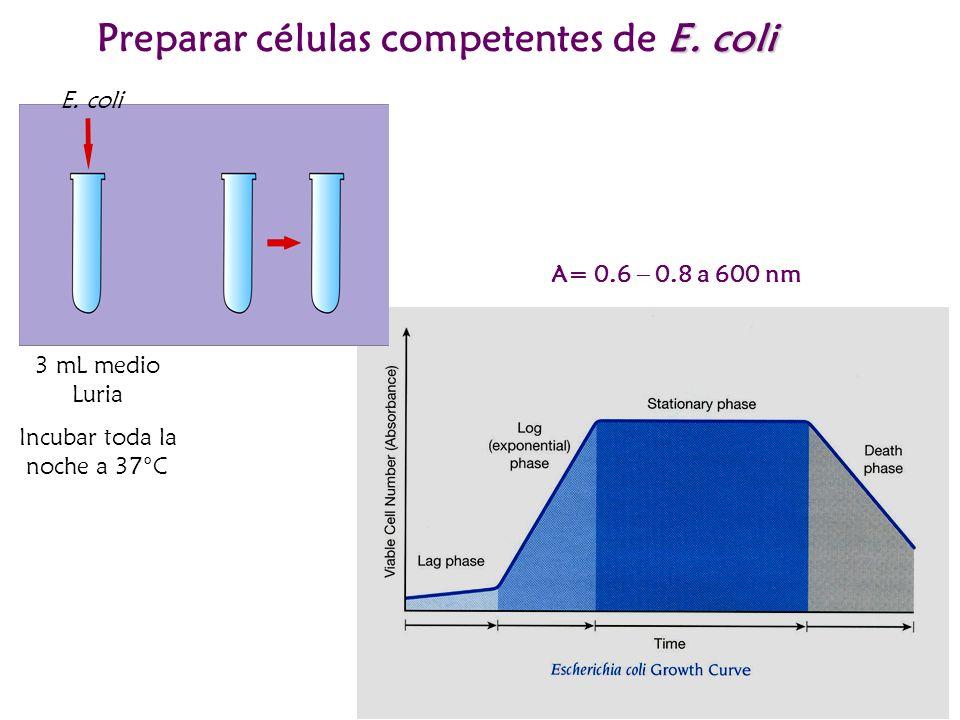 E. coli Preparar células competentes de E. coli 3 mL medio Luria Incubar toda la noche a 37°C E. coli A= 0.6 – 0.8 a 600 nm