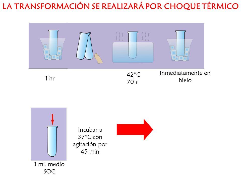 1 hr 42°C 70 s Inmediatamente en hielo 1 mL medio SOC Incubar a 37°C con agitación por 45 min LA TRANSFORMACIÓN SE REALIZARÁ POR CHOQUE TÉRMICO