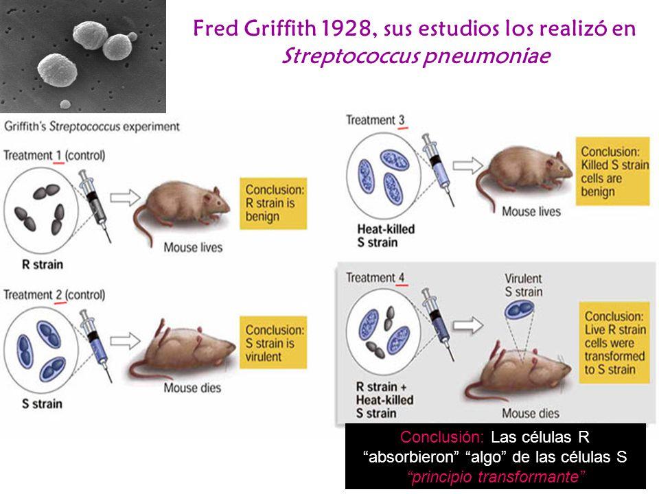 Fred Griffith 1928, sus estudios los realizó en Streptococcus pneumoniae Conclusión: Las células R absorbieron algo de las células S principio transfo