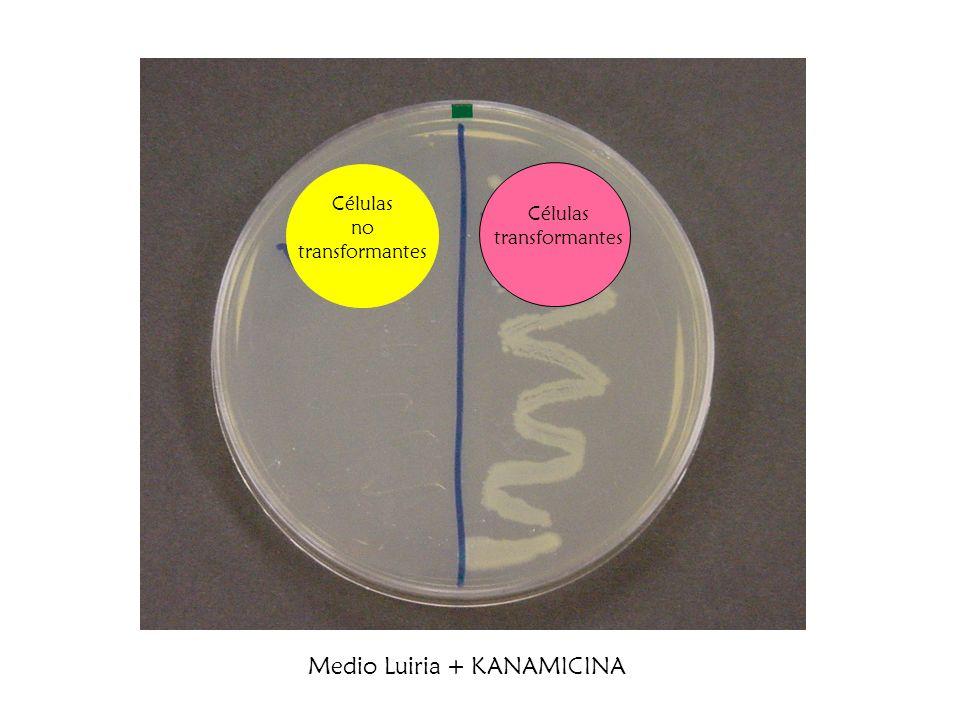 Células transformantes Células no transformantes Medio Luiria + KANAMICINA