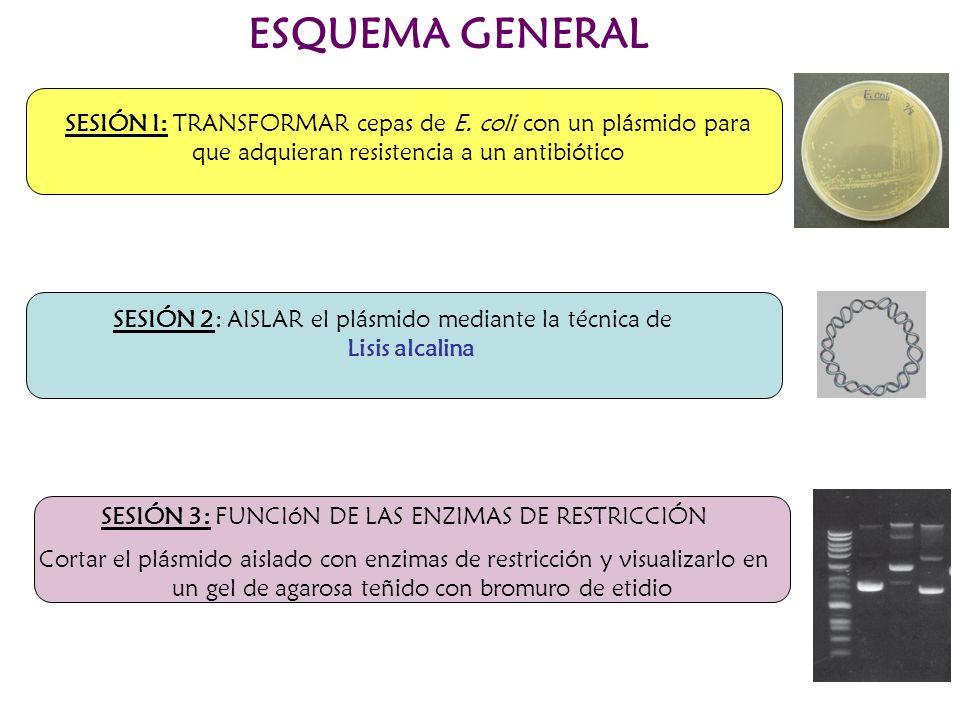 ESQUEMA GENERAL SESIÓN I: TRANSFORMAR cepas de E. coli con un plásmido para que adquieran resistencia a un antibiótico SESIÓN 3: FUNCIóN DE LAS ENZIMA