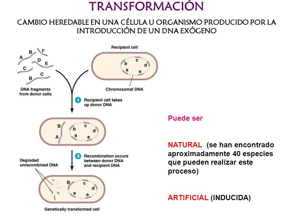 TRANSFORMACIÓN CAMBIO HEREDABLE EN UNA CÉLULA U ORGANISMO PRODUCIDO POR LA INTRODUCCIÓN DE UN DNA EXÓGENO Puede ser NATURAL (se han encontrado aproxim