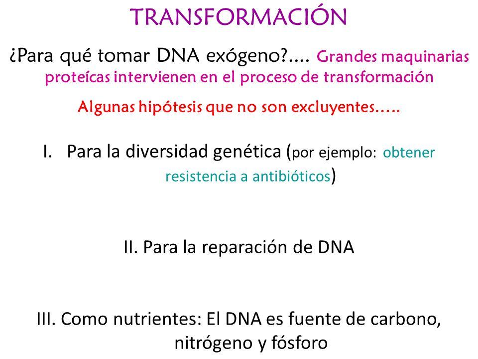 TRANSFORMACIÓN ¿Para qué tomar DNA exógeno?.... Grandes maquinarias proteícas intervienen en el proceso de transformación Algunas hipótesis que no son