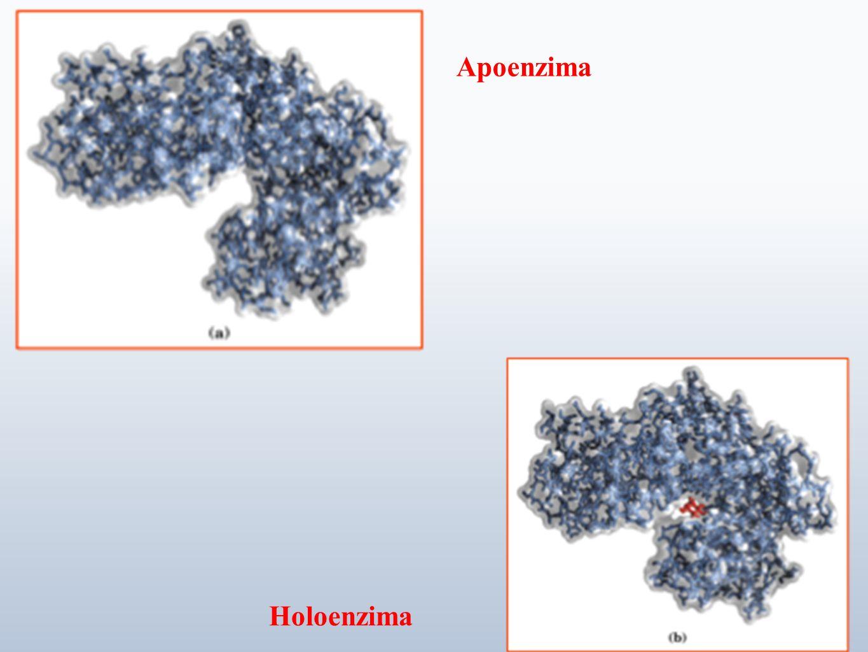 Apoenzima Holoenzima